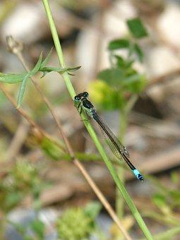 Dragonfly, Damselfly, Ischnura Elegans