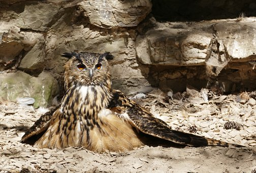 Eagle Owl, Griffin, Owl, Bird, Feather, Bird Of Prey