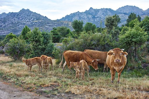 Cows, Landscape, Field, Livestock, Nature, Animal