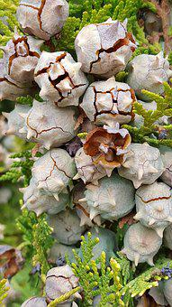 Gall Nut, Gall, Plant, Flavor, Biology, Nature