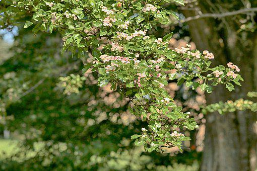 Fruit Tree, Nature, Flower, Garden