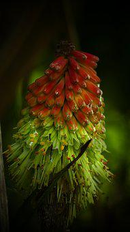 Kniphofia, Cake, Flower, Yellow, Red, Nature, Spring