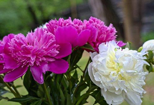 Flower, Peony, Spring, Garden