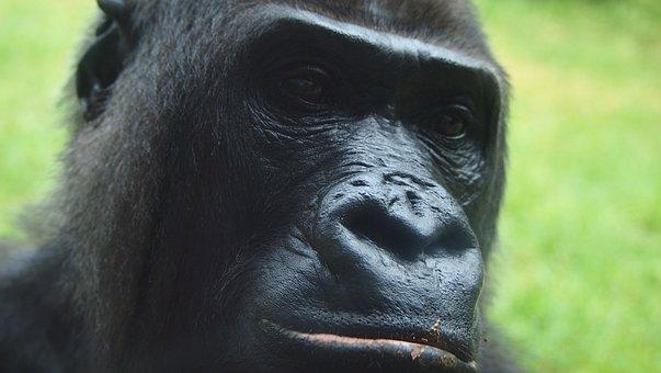 Monkey, Primate, Gorilla, Chimpanzee, Jungle, Mammal