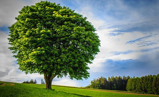 Big Tree, Lonely, Handsome, Age, Powerful, Huge, Large