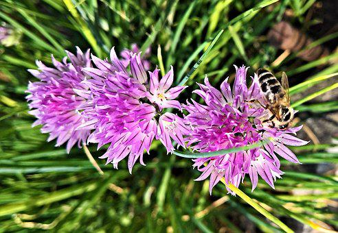 Plant, Chives, Herbs, Blossoming Chives, Flower Purple