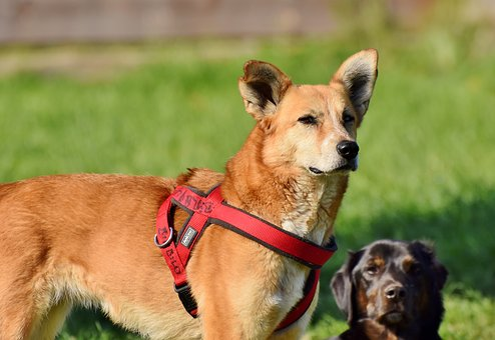 Dog, Hybrid, Pet, Animal, Small Dog, Playful