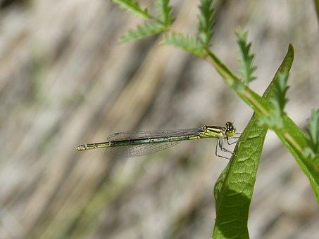 Dragonfly, Damselfly, Ischnura Pumilio