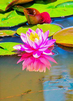 Lotus, Aquatic, Plant, Natural, Flower, Pink Lotus
