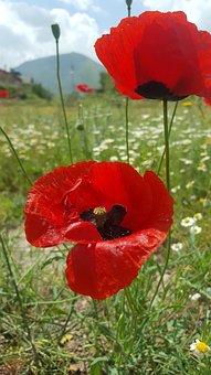 Papaver Rhoeas, Flower, Open Air, Mountain, Kayseri