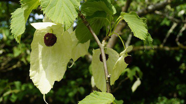 Plant, Handkerchief Tree, Blossom, Bloom, Close