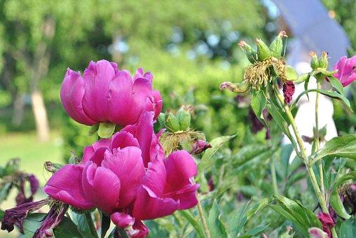 Peonies, Flowers, Nature, Plants, Garden, Beautiful