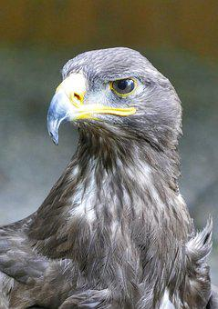 Griffin, Birds, Raptor, Nature, Access, Plumage