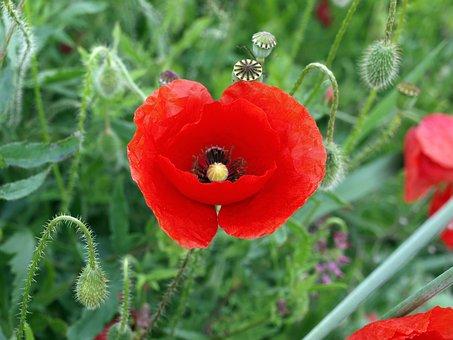 Wild Poppy, Poppy Common, Red Flower, Spring