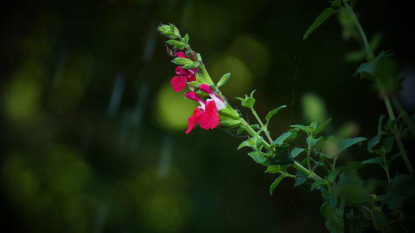 Plant, Nature, Red, Green, Plants, Sheet, Flower