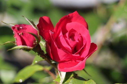 Rose, Dew, Red, Red Roses, Close, Drip, Rose Bloom