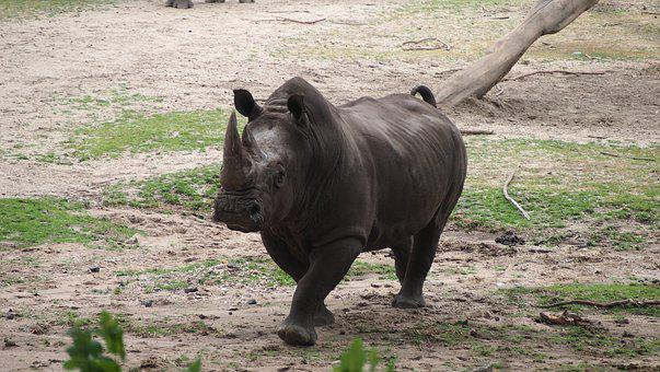 Rhino, Rhino Young, Steppe, Big Game, Rhinoceros