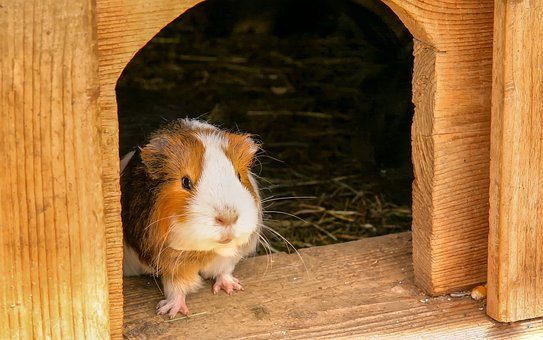 Guinea Pig, Animal, Rodent, Cute, Nager, Smooth Hair