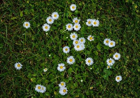 Daisy, Flowers, White, Yellow, Green, Rush, Garden