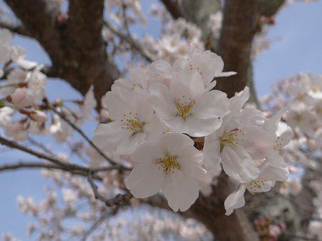 Cherry Blossoms, Spring, Cherry Trees, Japan, Flowering