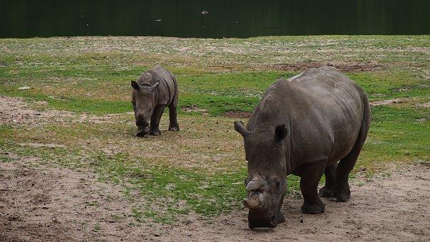 Rhino, Rhino Young, Steppe, Big Game, Rhinoceros