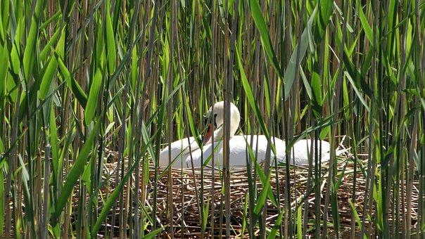 Swan, Nest, Breed, Swan's Nest, Sweltering Swan