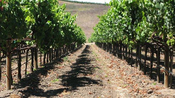 Grapes, Grapevine, Vineyard, Napa