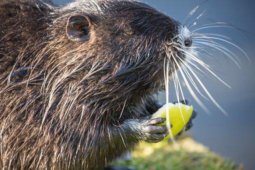 Nutria, Beaver, Rodent, Water, Nature, Mammal