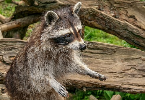 Raccoon, Animal, Nature, Mammal, Zoo, Wildlife Park