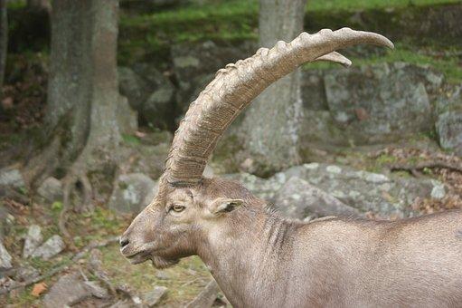 Ibex, Animal, Alpine, Goat, Horn