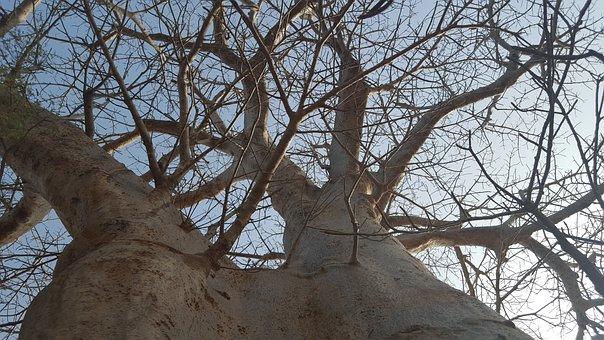 Nature, Senegal, Baobab, Africa, Outdoor, Wildlife