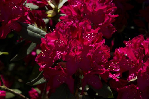 Flower, Blossom, Bloom, Rhododendron, Close, Nature