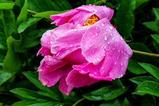 Nature, Plant, Peony, Pink, Green, Blossom, Bloom
