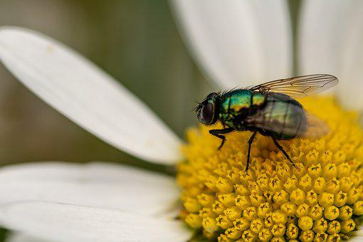 Goldfliege, Lucilia Sericata, Fly, Bluebottle, Insect