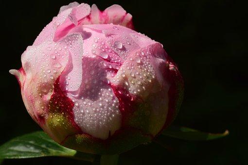 Peony, Bud, Pink, Blossom, Bloom, Wet, Dew, Dewdrop