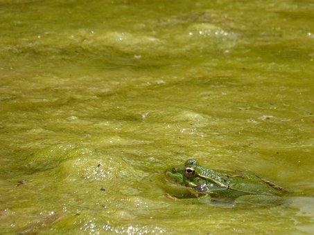 Frog, Algae, Stalking, Camouflage, Raft, Pond