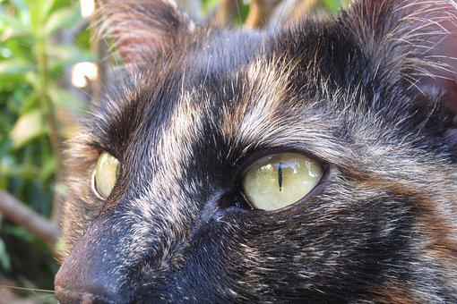 Cat, Eyes, Face, Animal, Pet, Domestic, Kitty, Mammal