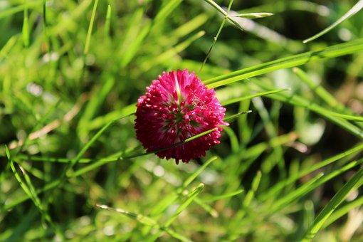 Clover, Clover Flower, Pink Flower, Polyana, Meadow