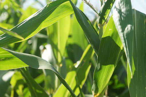 Corn, Field, Cultivation, Agriculture, Cornfield