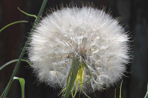 Dandelion, Summer, Plant, Fluff Of A Dandelion