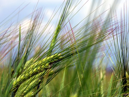 Barley, Culture, Epi, Agriculture, Power, Cereal, Field