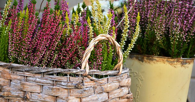 Heide, Plant, Colorful Heath, Planting, Heather, Erika