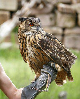 Eagle Owl, Bird, Owl, Feather, Bird Of Prey, Raptor