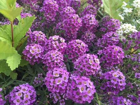 Purple Flowers, Nature, Garden, Purple, Purple Flower