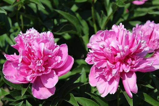 Flowers, Peony, Nature, Pink, Garden
