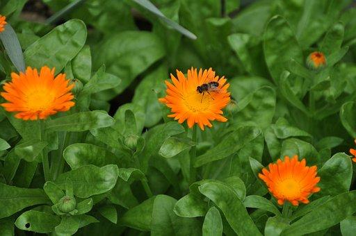 Flower, Bee, Green, Orange, Honey Bee, Flower Bee