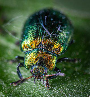 Macro, Beetle, Insect, Coleoptera, The Leaf Beetle