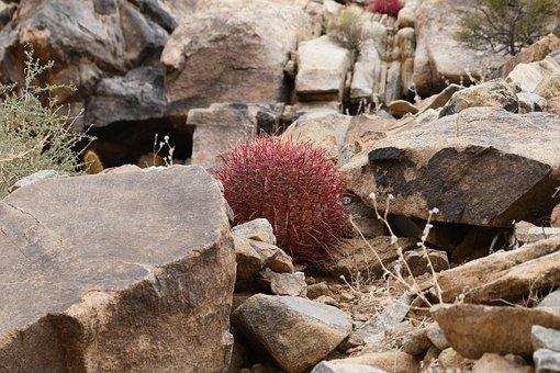 Joshua Tree, Desert, Cacti