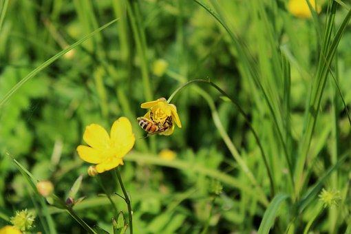 Your Marigolds, Kaczeniec, Flower, Yellow Flower