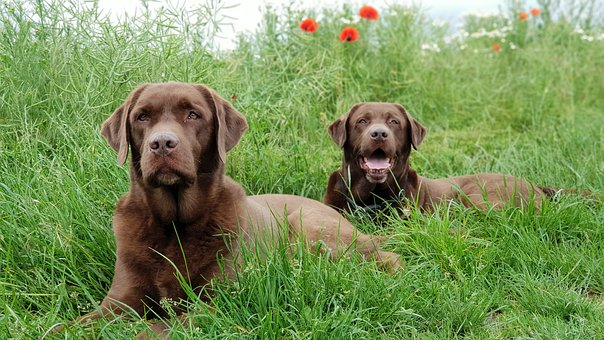 Grass, Dog, Cute, Animal, Pet, Mammal, Labrador